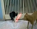 Chat Jedi contre un molosse